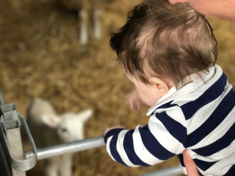 Lambing Sunday at Bicton Park